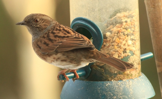 Dunnocks use feeders more in winter, hen food on the ground is harder to find