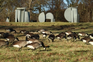 Large flock of Canada Geese feeding on grass in front of Caro's sculpture