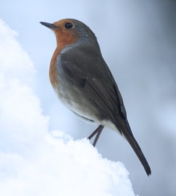 Robin climbing the snow heap