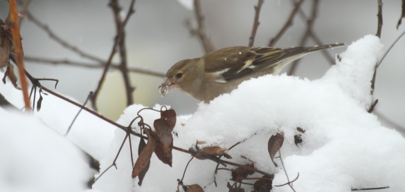 Several Chaffinches came to the food- this females is enjoying a sunflower seed.