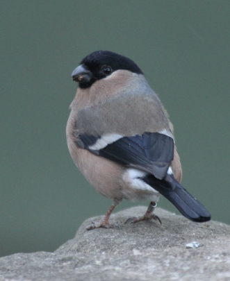 Female Bullfinch in winter
