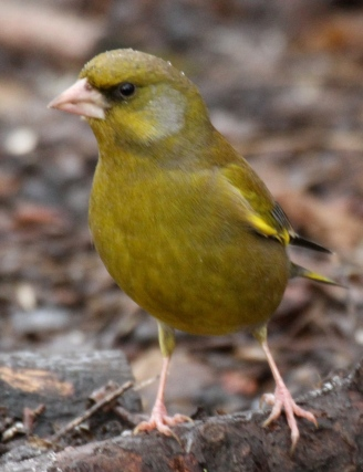 Male Greenfinch, looking duller here, in winter plumage.