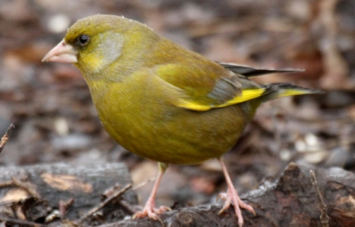 Greenfinches feed in mixed flocks more in winter