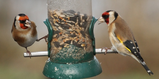 Several Goldfinch were feeding in the Old Moor garden, some squabbling!