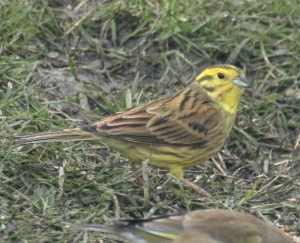 A male Yellowhammer over-wintering on 'Tree Sparrow Farm' at Old Moor