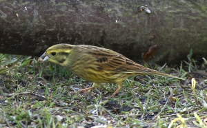 Yellowhammers will concentrate on seeds in winter when insects are harder to find