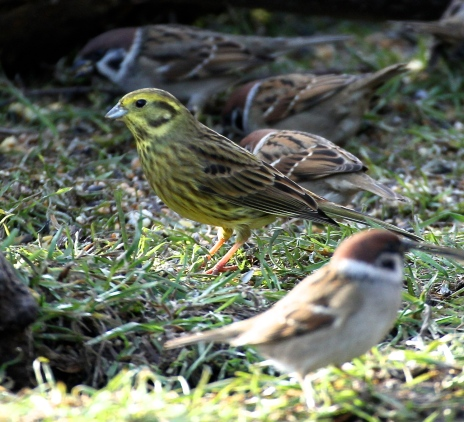 In winter they feed in mixed flocks, appropriately here they are with Tree Sparrows at Tree Sparrow Farm!