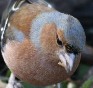 Male Chaffinch's heads become much brighter blue in the breeding season.