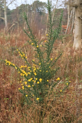 You can always find Gorse in flower but this winter it is particularly floriferous.