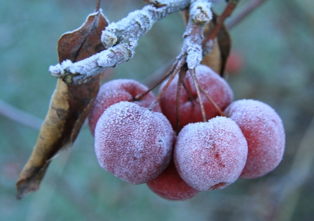 The Crab Apples caught the frost but that helped blett or soften the fruit for the Blackbirds to eat.