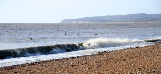 A dog disturbs the 13 Turnstones