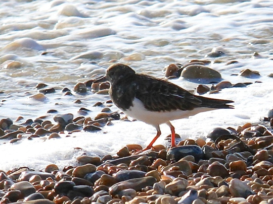 Gradually the Turnstones returned to feed very nearby