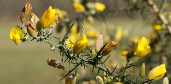 The vicious thorns on Gorse.
