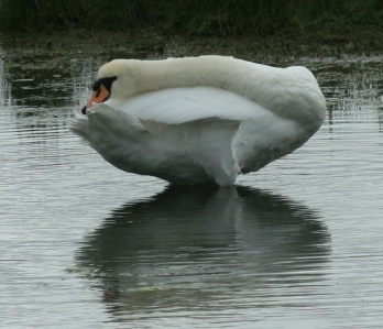 This Mute Swan rests laying its prehensile neck along its body.