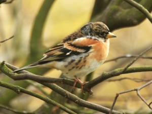 Bramblings overwinter in England