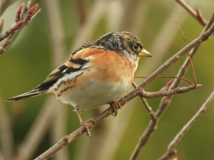 In the breeding season Bramblings have much darker heads but it's in this winter plumage you are most likely to see them