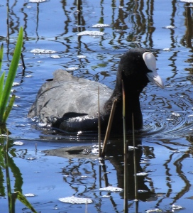 Coot with its distinctive white forehead.