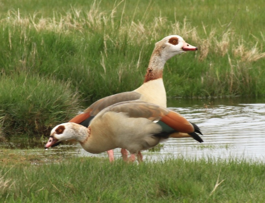 The related Egyptian Goose has escaped from ornamental collections and about 1,000 pairs now breeds in the wild