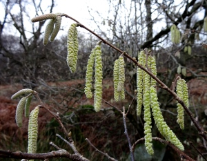 Hazel catkins are more slender and yellow than Alder catkins, and come out earlier in the year