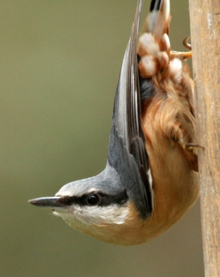 This beautiful Nuthatch has unusual feathers on its rump. The 'bandit' mask is very noticeable in this shot.