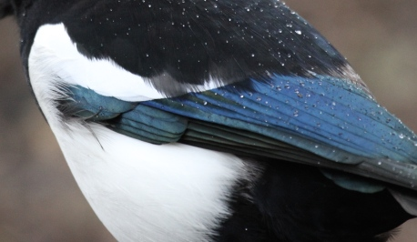 The lovely colours on a Magpie's wing