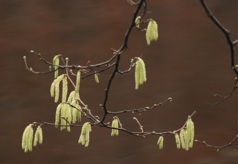 Hazel catkins overhanging the River Don
