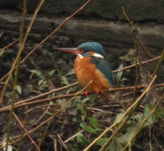 The female Kingfisher has a red/orange underside to its beak