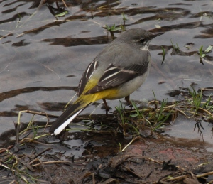 Grey Wagtail showing its grey back and white flashes on the tail