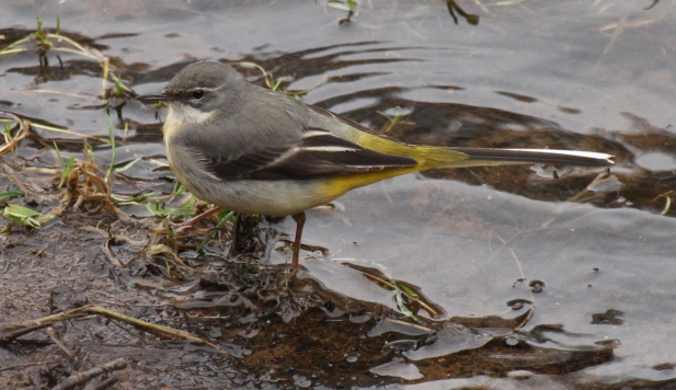 Like all wagtails, the Grey has a long, narrow tail