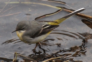 The Grey Wagtail feeds in shallow water on insects, tadpoles and snails