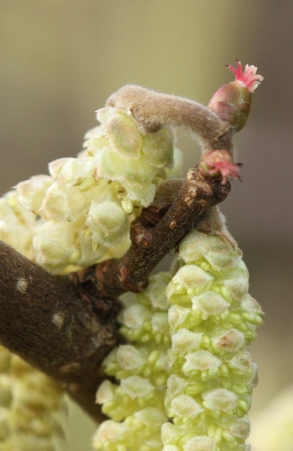 This photo shows how male catkins, full of pollen, and female flowers, the small, reddish stars, grow on the same Hazel bush