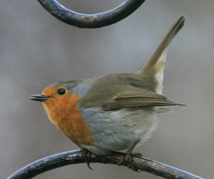 Fluffed up, and flicking its tail and wings adds to the Robin's demonstration of 'ownership' of it's territory