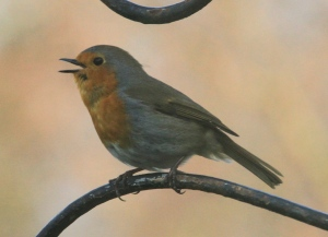 Robin singing to hold its newly created territory.