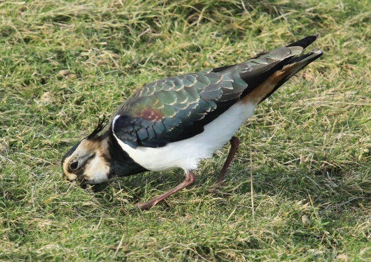 Lapwing showing buff wing-edges of winter plumage