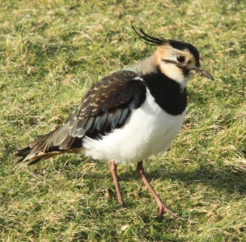 Lapwing in winter colours