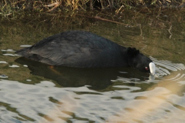Like most birds, it drinks by dipping its bill in the water
