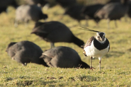 Male Lapwing among the Coots, crest sideways!