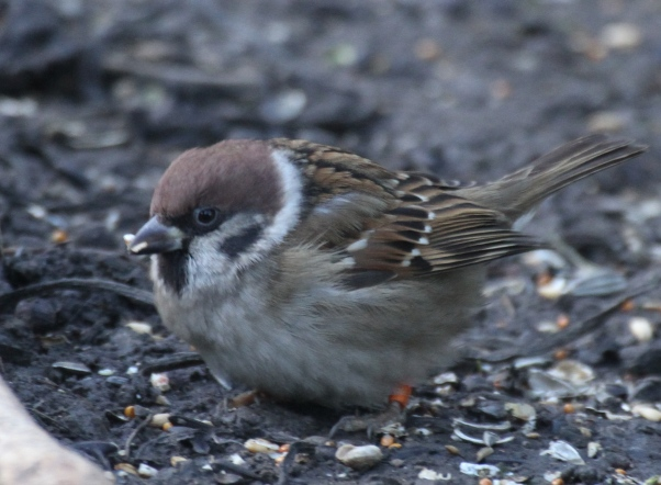 Tree Sparrows are delightful birds in serious decline