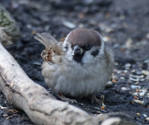 Tree Sparrow typically feeding on seeds on the ground