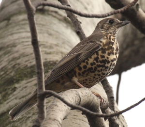 Mistle thrush by the Don- showing the blotchy spots extending right down the underside of the bird, and the pale back