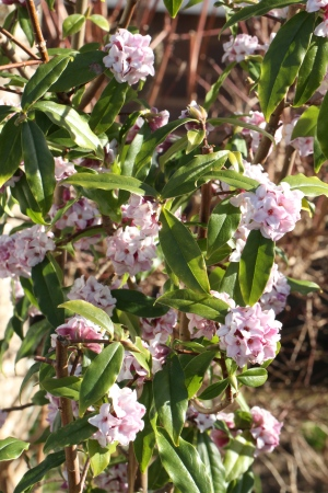 Daphne Jaqueline Postill- very floriferous, slow growing, evergreen and hardy
