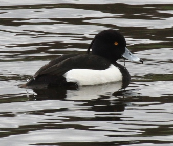 A male Tufted Duck