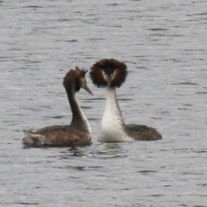 They shake heads and twist necks in an elaborate courtship
