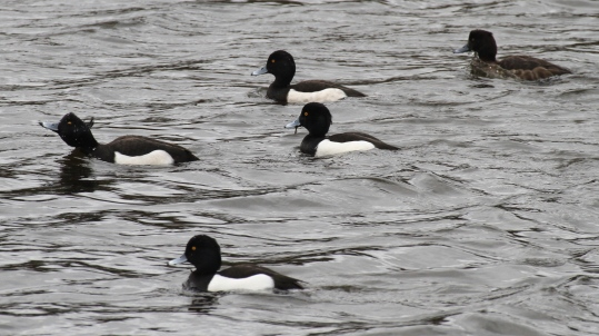 In winter Tufted Ducks are usually in small flotilla's like this or in large groups.