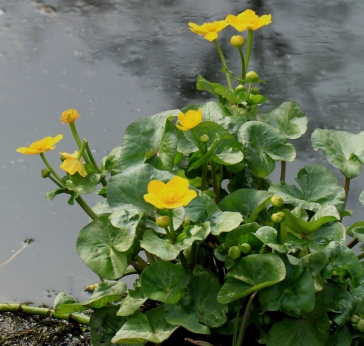 The shiny, dark leaves and bright yellow flowers of Marsh Marigolds (Kingcups) are out before most wild flowers