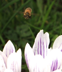 Honey Bee out for food the other day
