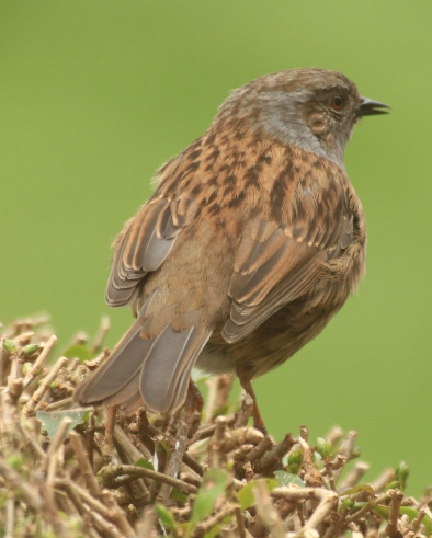 This male Dunnock is in good plumage, marked with typical dark striations on it's grey and chestnut back