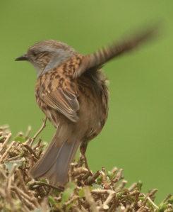 The Dunnocks wing and tail flicking is so rapid it's hard to get a photo that isn't blurred