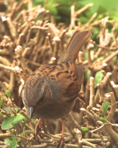 Often hardly noticed the Dunnocks markings are beautiful if looked at closely