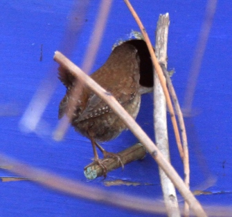 Male Wren investigating our bird-box this week